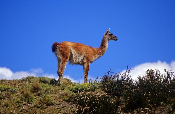 Torres del Paine wild life