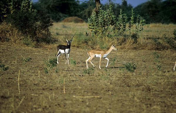 Rohet Bishnoi Safari
